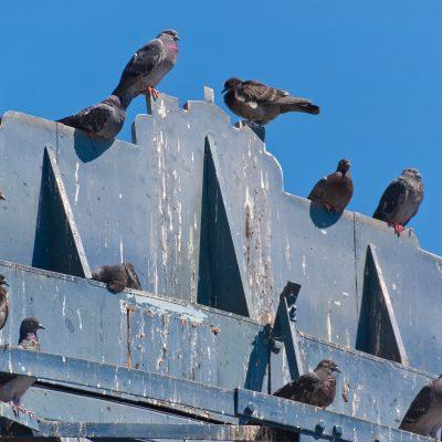 nettoyage fientes de pigeons